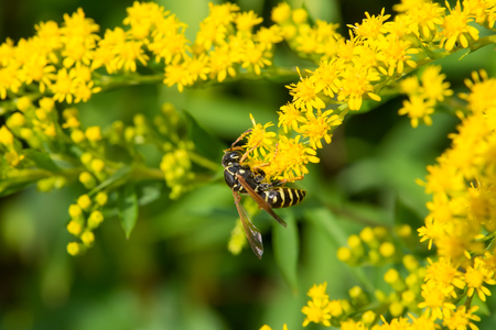 A large bee collects nectar from flowers on a large flowering yellow bush.
