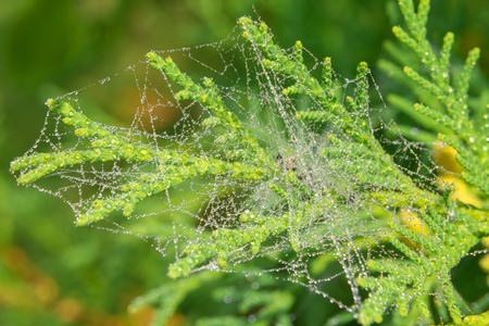 Spiderweb on a branch of a plant in the drops of dew on an autumn morning