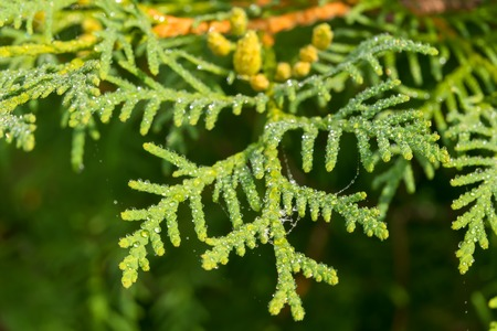 Thuja branch covered with water drops after rain Reklamní fotografie