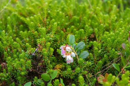 Tundra flowers in green grass Stock Photo