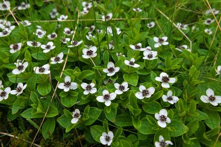 Cornus suecica (Chamaepericlymenum suecicum) Reklamní fotografie - 122279951