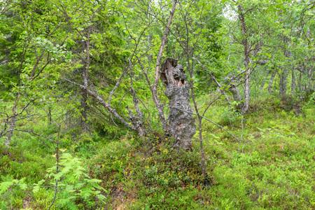 Stump of old dry broken Karelian birch Reklamní fotografie