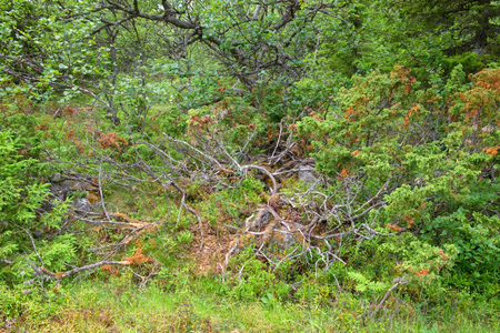 Juniper in the forest. Muksalma Island. Solovetsky archipelago, White Sea Coast, Russia