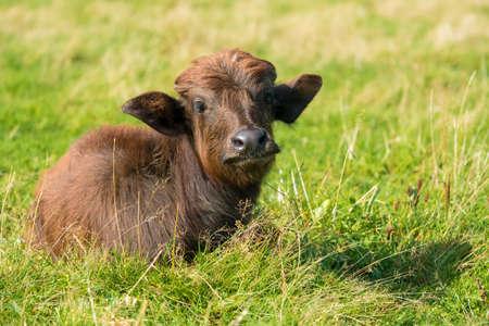 Buffalo calf on a field on a summer day Reklamní fotografie