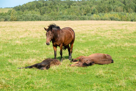 A foal is sleeping on the grass on a field on a summer day 免版税图像