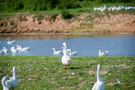 White geese on a summer day at the farm lake
