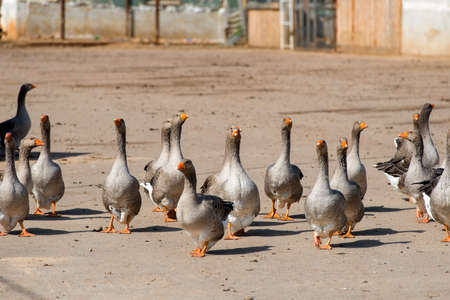 Geese walk on the territory of a livestock farm on a summer day