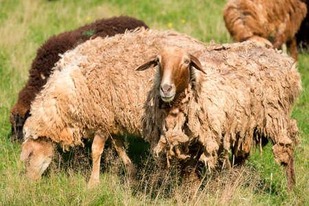 A flock of sheep grazes in a meadow on a summer day Reklamní fotografie