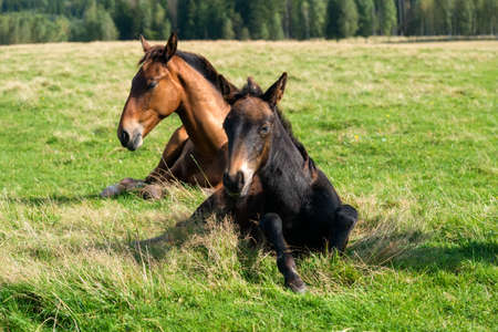 Horses resting in the meadow on a summer day