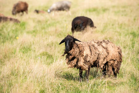 Sheep with matted wool graze in the meadow on a summer day