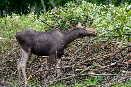 Young big and strong elk eating leaves from bushes