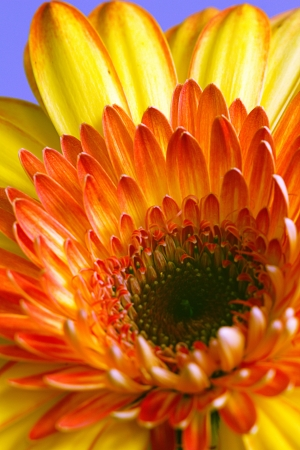 Large yellow-orange gerbera flower Stock Photo - 17562127
