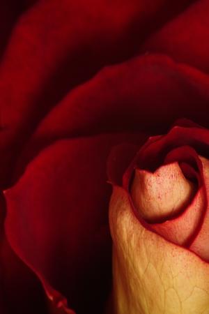 Rose macro shot