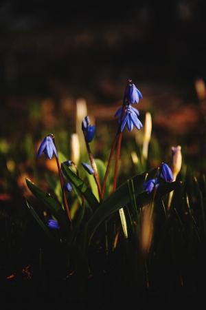 squills primroseflower