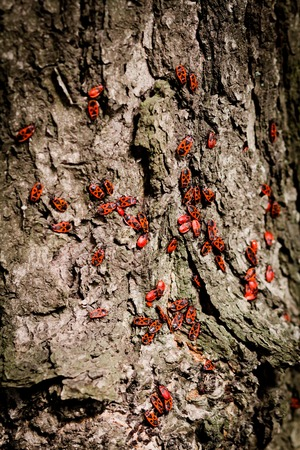 Some red beetles on a tree background