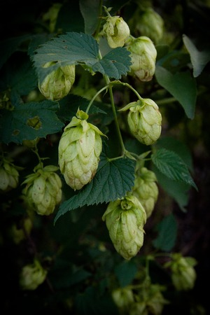 hops, beer bush agriculture buttons on the branches