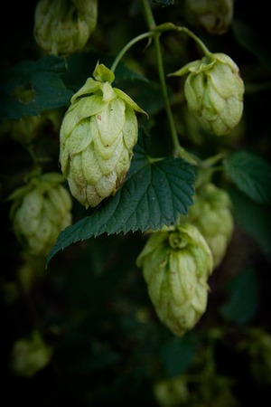 panning shot: hops, beer bush agriculture buttons on the branches