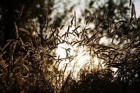 spikelets of wild grass evening sun at summer
