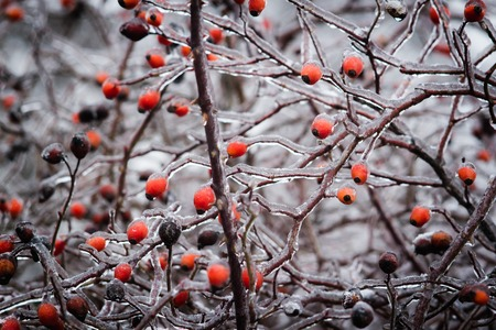 bush with berries of wild rose in the ice. fantastic picture.