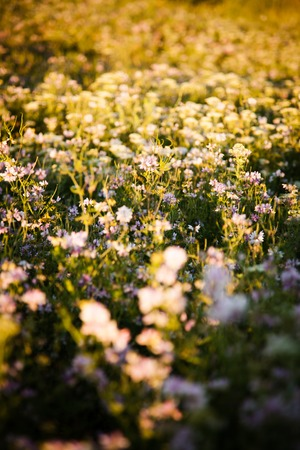 clover flowers in rays of the evening sun, fairy picture Stock Photo
