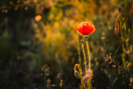 Wild poppies at sunset at evening