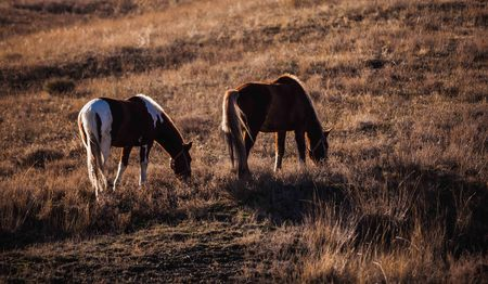 Two horses grazing on the hillside on the yellow hill Stock Photo