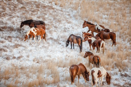 herd grazing in the snow covered hills
