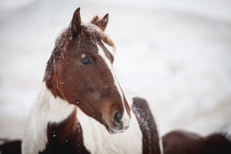 Portrait of a horse during a snowfall in mountains