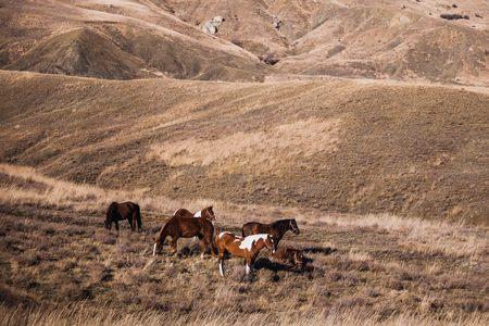 herd of stallions on hillside at sunset