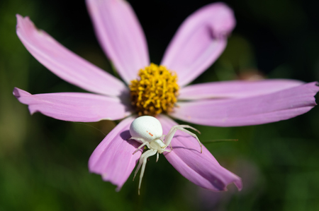 Goldenrod crab spider sitting on daisy. Macro photo.