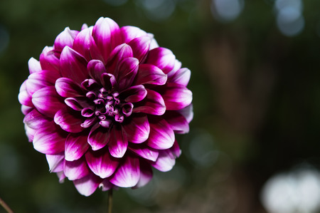 excellent: Flowers. Magic background with excellent dahlias Stock Photo