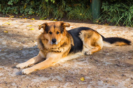 Dog lies on the ground. Sheepdog resting Stock Photo