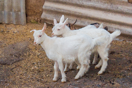 Goats on a farm at countryside