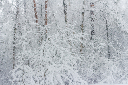 Forest after snowfall