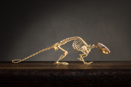 Skelett von Ratten auf dem Tisch Standard-Bild - 48430038