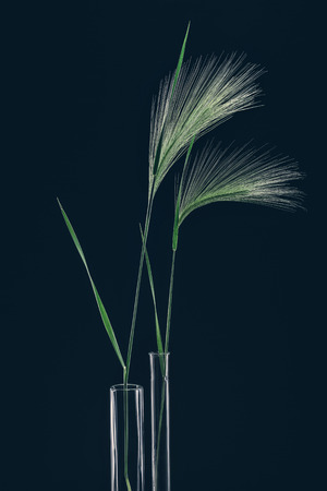 Still life with stems stipa on dark
