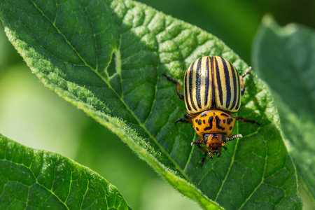 Colorado beetle eats potato leaves. Pests destroy crop in the field. Stock Photo