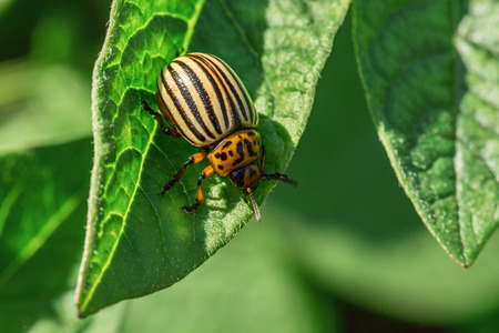 Colorado potato beetle larvae eat potato foliage Stock Photo