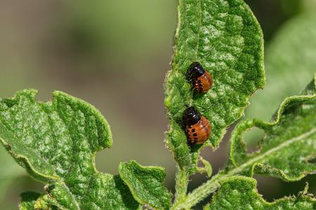 Colorado beetle chews green leaves of potatoes. Garden insect pest. Banco de Imagens