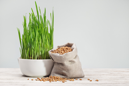 Green wheat sprouts in white cup and wheat grains in canvas sack on white background. Stock Photo