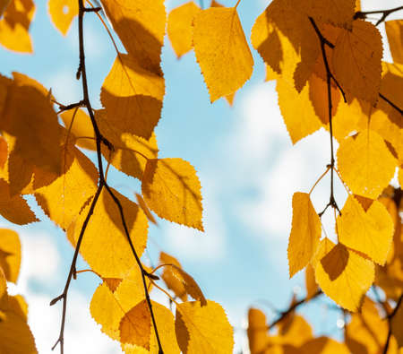 Yellow leaves on an autumn sunny day