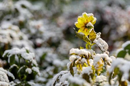 The last autumn flower. First snow on green grass.