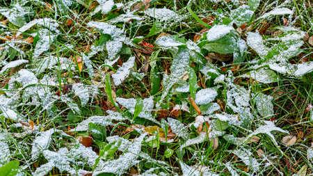 First snow on green grass. Early winter. 版權商用圖片