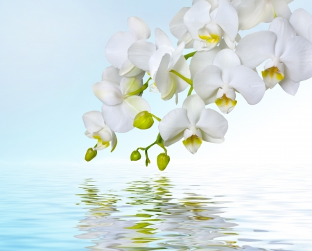 purple orchid: White orchids reflecting in water Stock Photo