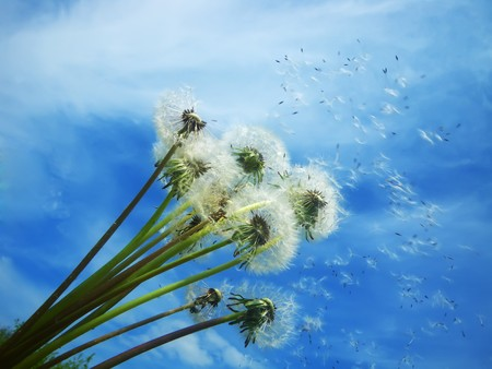 Dandelions blowing seeds in the wind Stock Photo - 8207784