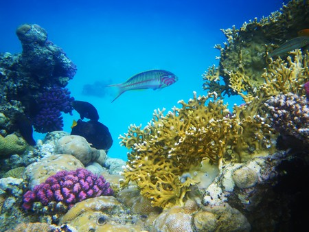 Underwater photo of hard coral reef with fishes, Egypt, Red sea Stock Photo - 8207772