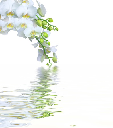 botanical branch: Beautiful white orchid flower phalaenopsis reflected in water with copyspace