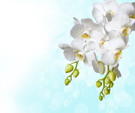 Beautiful white orchid photo