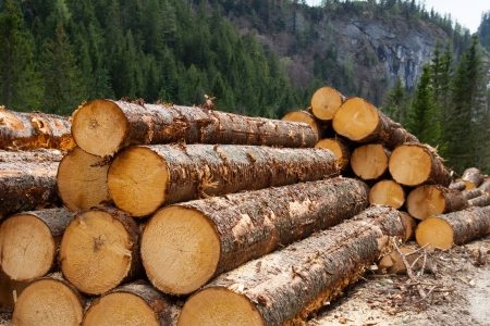timber logging in pine forest, Austrian Alps