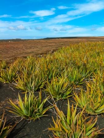 Pole Aloes, Lanzarote, Wyspy Kanaryjskie, Hiszpania photo